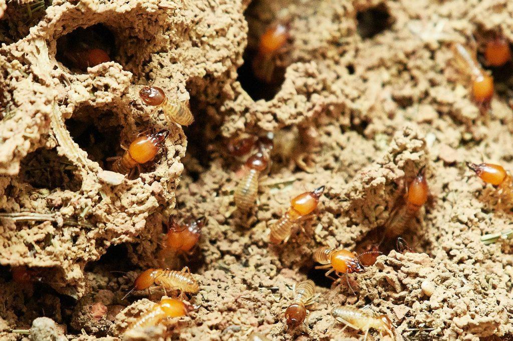 termites wood crawling